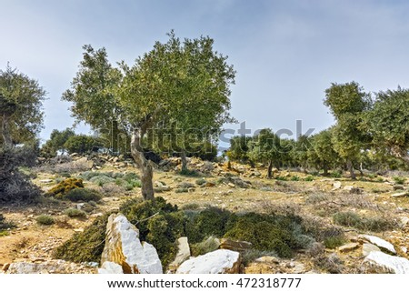 Olive trees in the mountain of Thassos island,  East Macedonia and Thrace, Greece