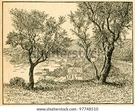 Olive trees - old illustration by unknown artist from Botanika Szkolna na Klasy Nizsze, author Jozef Rostafinski, published by W.L. Anczyc, Krakow and Warsaw, 1911 - stock photo