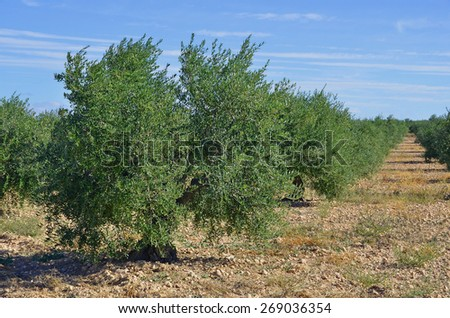 Olive trees plantation in Spain. Olive oil is a important mediterranean diet ingredient - stock photo