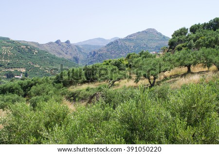 Olive trees plantation on Crete - Greece - stock photo