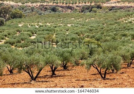 Olive trees, planted trees in the plantation in Greece, Crete. - stock photo
