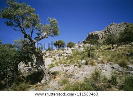 Olive trees, Puig Roig, Majorca, Spain - stock photo