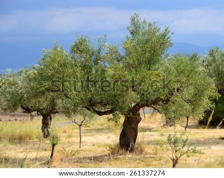 Olive trees under bright sunlight. Kalamata, Messinia, Greece - stock photo