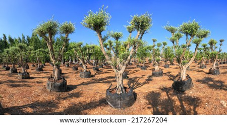 Olive trees which are grown up for sale on a plantation in Israel - stock photo