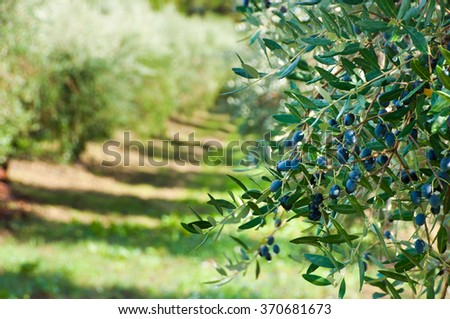 Olive trees with olives