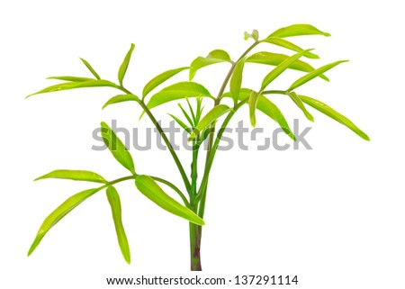 Olive treetop isolated on the white background - stock photo
