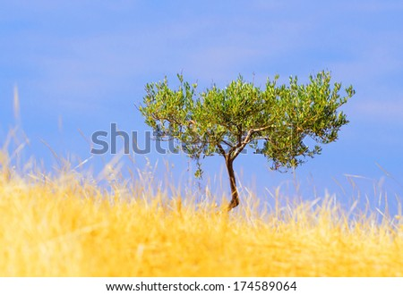 Olive wild tree in a row plantation with yellow golden grass on field - stock photo