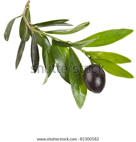 olives  branch with black  olive  on a white background