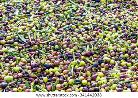 Olives collected from the trees in the large basket ready to be sent on a conveyor - stock photo