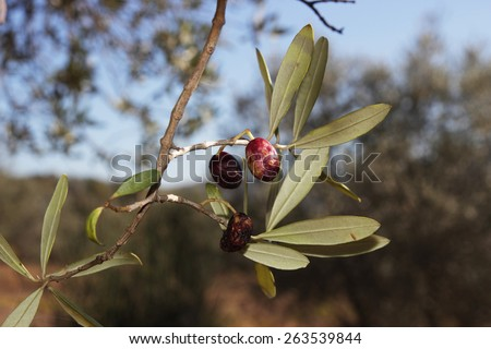 Olives damaged by Olive Fruit Fly and Medfly disease - stock photo
