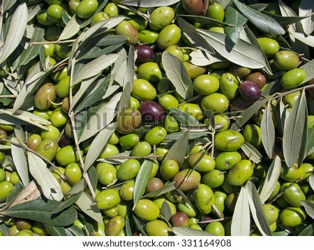 Olives. Green and black. Closeup , fresh picked. - stock photo