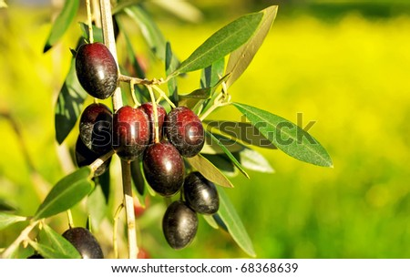 Olives hanging in branch at Alentejo field. - stock photo