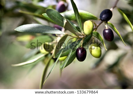 Olives in various stages of ripening. Soft focus background/Tuscany Olive/Tuscany,Italy - stock photo