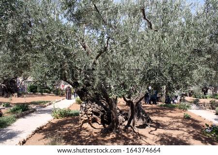Olives of Gethsemane - stock photo