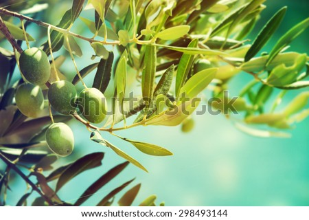 Olives on a branch. - stock photo
