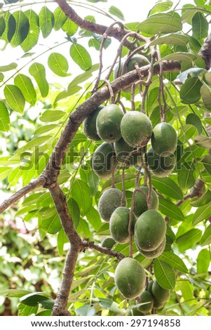 Olives on a branch. Close up green olives on a tree. - stock photo