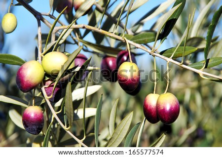 Olives on branch at portuguese field - stock photo