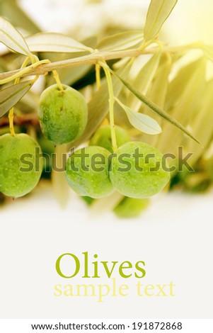 Olives on olive tree. - stock photo