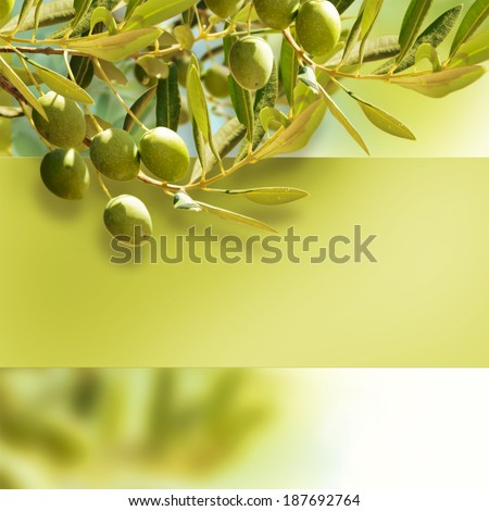 Olives on olive tree in autumn. - stock photo