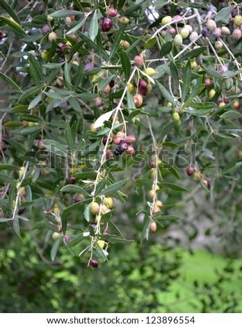 Olives on Tree - stock photo