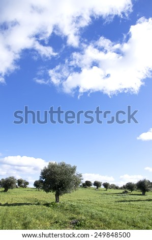 olives tree at south of Portugal - stock photo