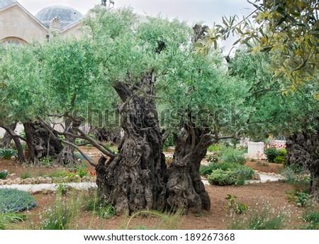 Olives trees in the Garden of Gethsemane, Jerusalem. - stock photo