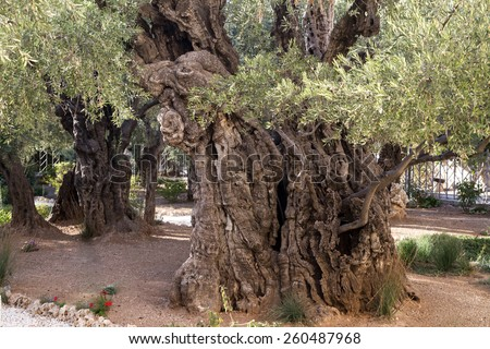 Olives trees in the Garden of Gethsemane, Jerusalem. - stock photo