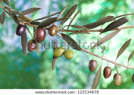 "Olives variety  ""Picual"". Andaluc�­a.  Spain. - stock photo"