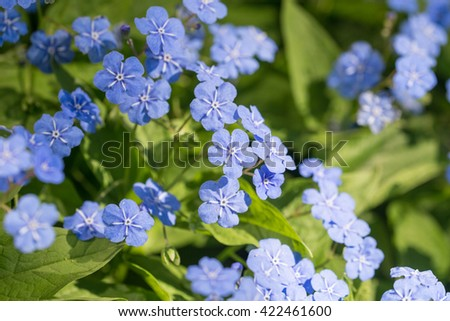 omphalodes blooming in spring day close up - stock photo