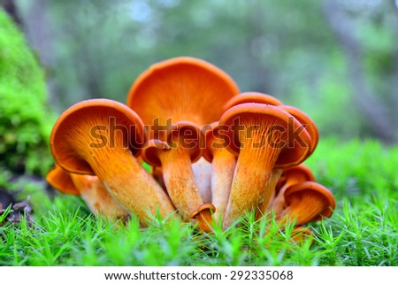 omphalotus olearius mushrooms   - stock photo