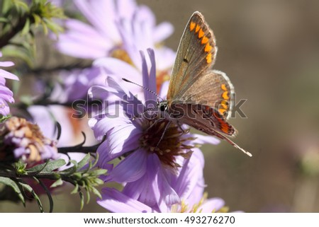 On a flower bed of purple flowers asters,  small moth feeds on