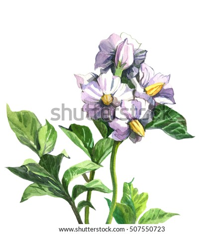 On a white background watercolor painted four bud Flower-potato with green leaves.