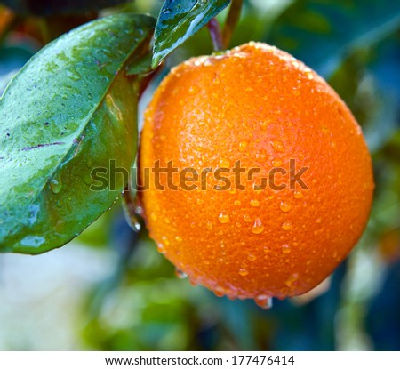on citrus plantation in Spain  ripe big orange in water drops after rain on a tree branch - stock photo