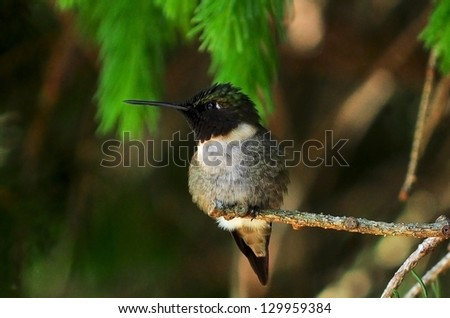 On Guard A male ruby throated hummingbird stands watch over his territory. - stock photo