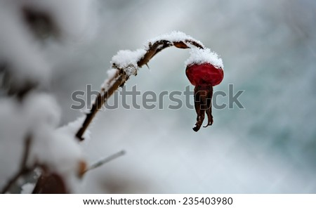 on red rosehip berry closeup covered by snow in frozen garden - stock photo
