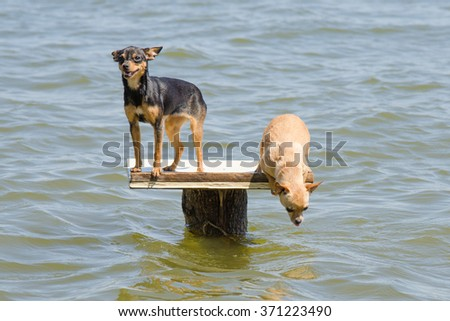 On the table set in the river two dogs dwarf - Russian toy terrier and chihuahua who wants to jump into the water - stock photo
