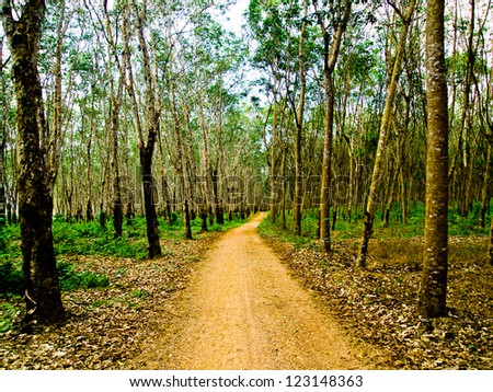 On the way of Rubber tree forest2