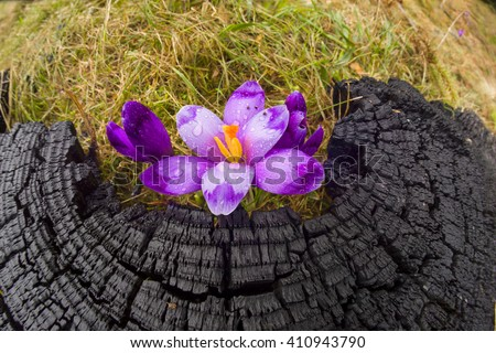 Once come snow magic grow Polyanthus crocus crocuses in Ukrainian Carpathians Eastern Europe.terrible fire of the old forest covered magic carpet of delicate bells with a beautiful aroma - stock photo