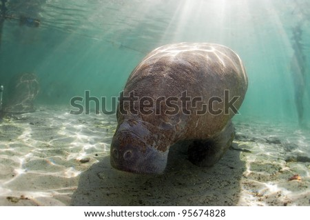 Once mistaken for mermaids, manatees are nothing like the mythical creature they thought they were. - stock photo
