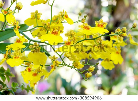 HOA GIEO TỨ TUYỆT 2 - Page 54 Stock-photo-oncidium-orchid-flowers-dancing-lady-orchid-oncidium-varicosum-oncidium-goldiana-308594906