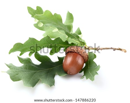 One acorn with leaves - stock photo