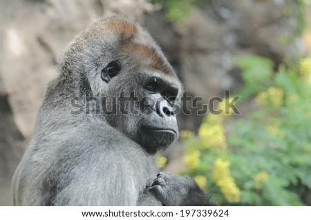 One Adult Black Gorilla near Some Yellow Flowers - stock photo
