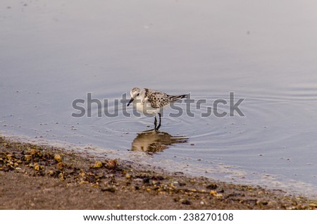 One Adult Kentish Plover Water Bird near a Beach - stock photo