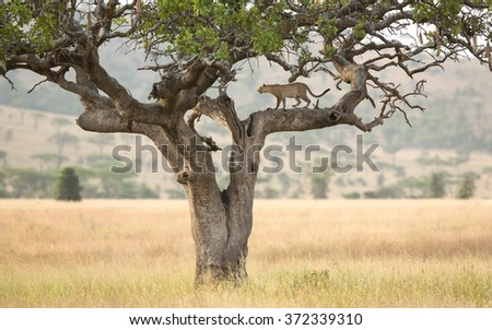 One African Leopard in a sausage tree in the Serengeti, Tanzania - stock photo