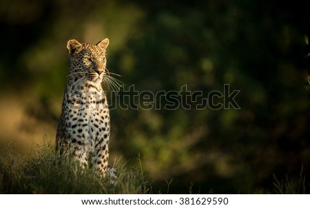 One African Leopard sitting and alert in Etosha National Park in Namibia