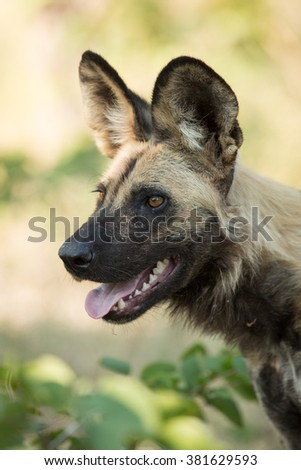 One African Wild Dog portrait in Etosha National Park in Namibia