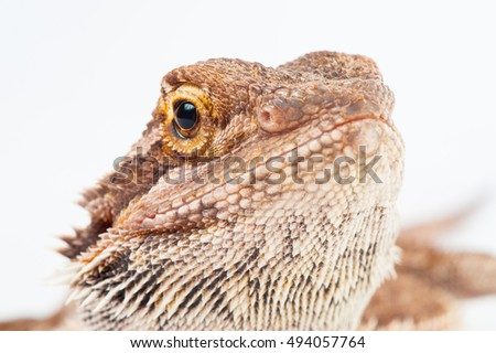 one agama bearded on white background.image reptile close-up.