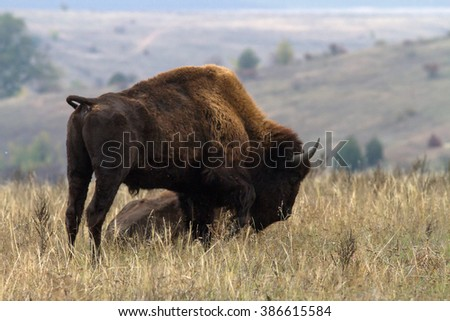 One American bison standing in the steppe. A graceful and powerful American bison (bison bison). - stock photo