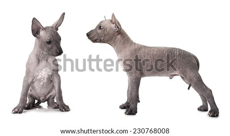 One and half month old xoloitzcuintle puppy. Studio shot on white background  - stock photo
