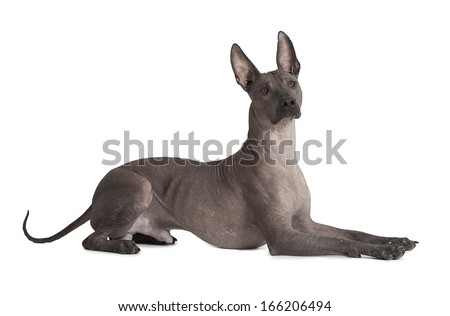 One and half years old Mexican xoloitzcuintle male dog over white   - stock photo